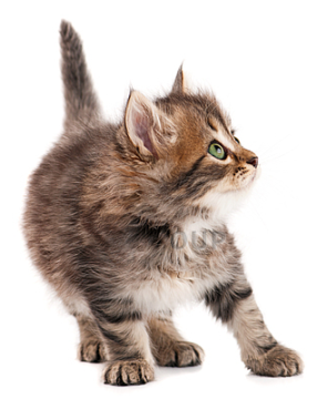 fluffy-kitten-cropped